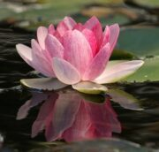 Lotus-formule